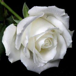 white rose 1280x1217 1 250x250