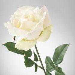 Rose white 250x250