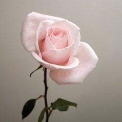 single rose 250x250