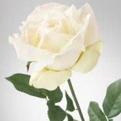 Rose white e1629845015439 250x250