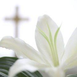 White Lily 250x250